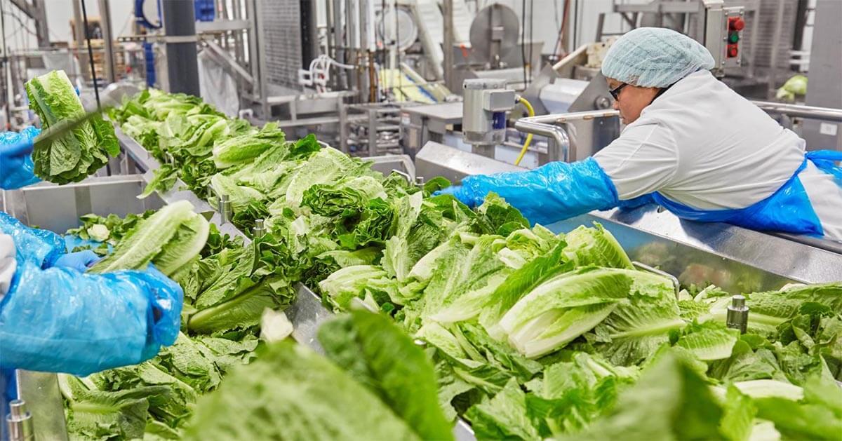 Facility-Washing-Lettuce