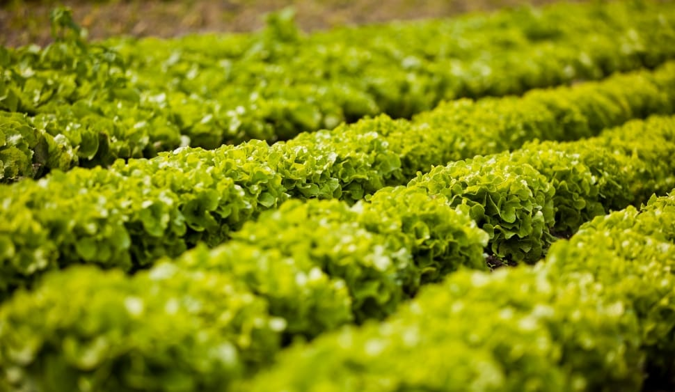 salad-batavia-arable-wallpaper-preview